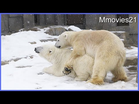 Courtship of Polar Bears~ホッキョクグマの求愛