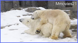 Courtship of Polar Bears~ホッキョクグマの求愛
