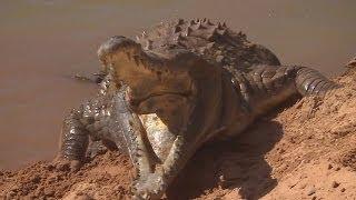 Orinoco Crocodile Protects Her Nest | Deadly 60 | BBC Earth