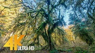 Walking in the Hoh Rain Forest - 4K Relax Virtual Nature Walk - 20 min video