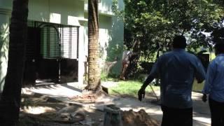 How to climb a tree..... Moglabazar, sylhet