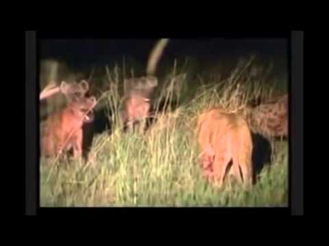 Gigante León macho salva a leona de la muerte por una manada de hienas