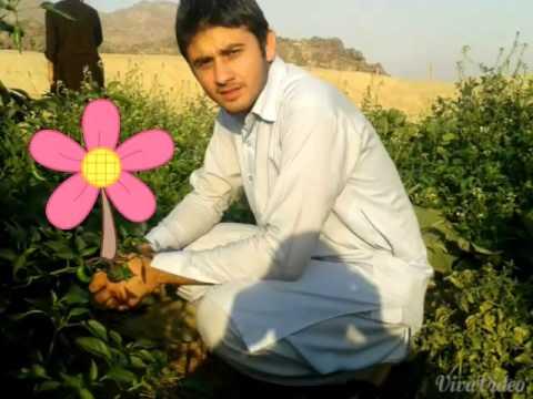 Pashato song ayub Khanafridi 00966596706153.and