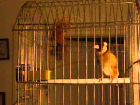 Chant Chardonneret Parva Tunisie Chant d oiseaux