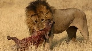 BİG BATTLE   Hyenas vs Lions Real Fight to Death   Hyena, Lion, Tigers 2017