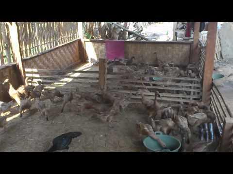Bebek petelur kotabumi Alika farm