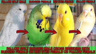 Fallow Split Male Cross Breeding With Budgies Female   Red Eyes Female   Fallow Female Tip In Urdu
