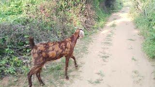 राजस्थान  के खेत, मारवाड़ का खुला नज़ारा और भेड़ बकरी | Rajasthani Superhit video, Marwadi Hit's