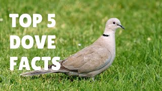 Dove Facts for Kids - The Symbol of Love, Peace and Harmony