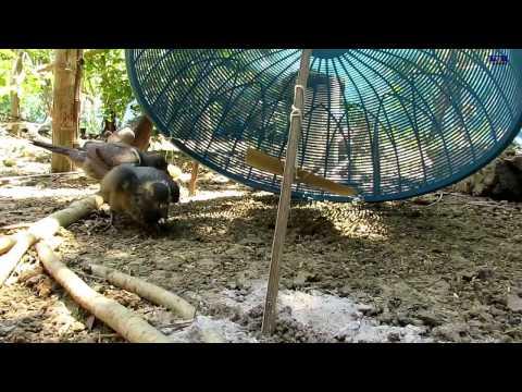 how to build pigeon trap easy- pigeon trap door-អន្ទាក់ព្រាប