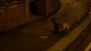 Foxes Scuffle on a Sidewalk  || ViralHog