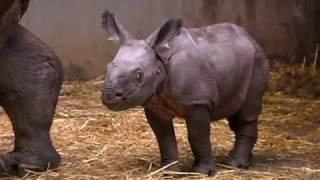 Un bébé rhinocérosné au Cerza, zoo de Normandie a été baptisée Sundara