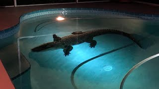 11-Foot-Long Alligator Bursts Through Screen to Swim in Family's Enclosed Pool
