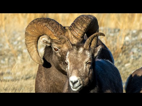 Epic Canadian Rockies Ram Battle for Mating Rights HD