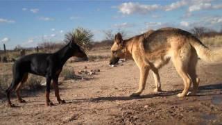 German Shepherd vs. Doberman