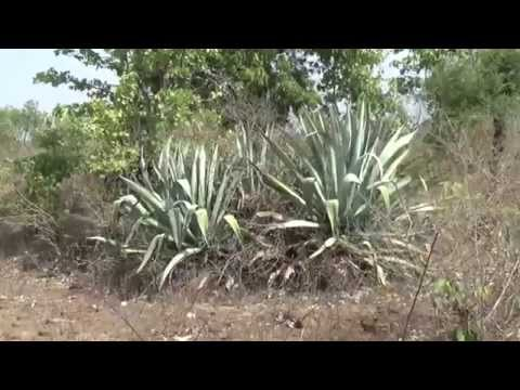The Plant Of Ketki or Agave americana, centuryplant, maguey, or American aloe,