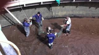 اسماك في أحواض صرف صحي fish in aeration water / part 1