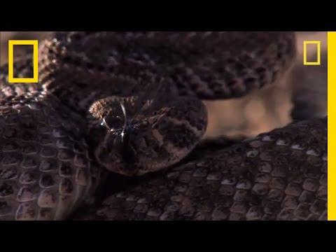 Rattlesnake vs. Rat | National Geographic