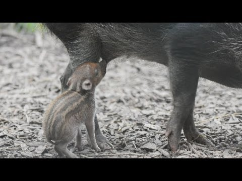 Xxx Mp4 Cute Rare Baby Piglet Born At Chester Zoo 3gp Sex