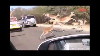 Tiger hunting Deer in India Live