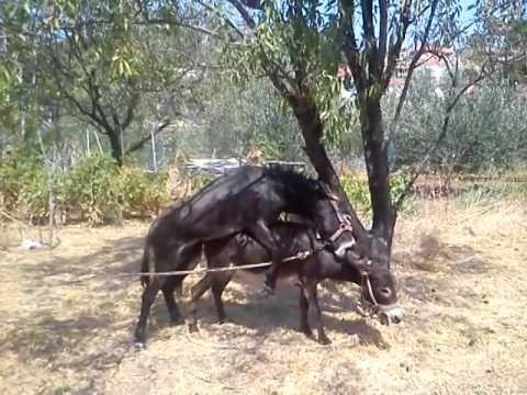 Donkey mating in Croatia