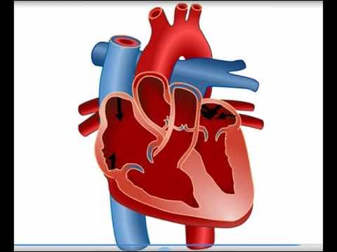 Xxx Mp4 القلب والدورة الدموية في الإنسان 3gp Sex