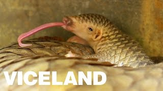 The Most Trafficked Mammal on the Planet - BLACK MARKET: DISPATCHES (Clip)