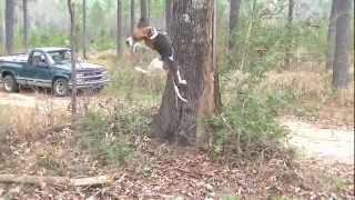 showing off our coon dogs