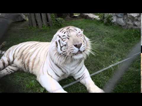 Bengal tiger roar