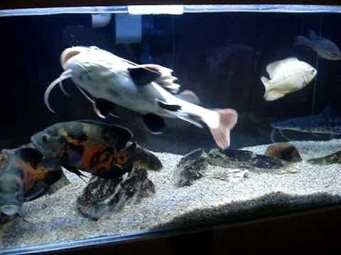 aquario 375 litros oscar pirarara cachara jacunda pangassius