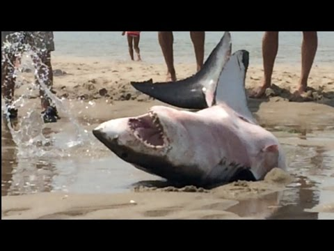 GREAT WHITE SHARK BEACHES IN CAPE COD Amazing Footage