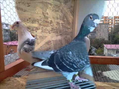 Porumbei standard voiajori