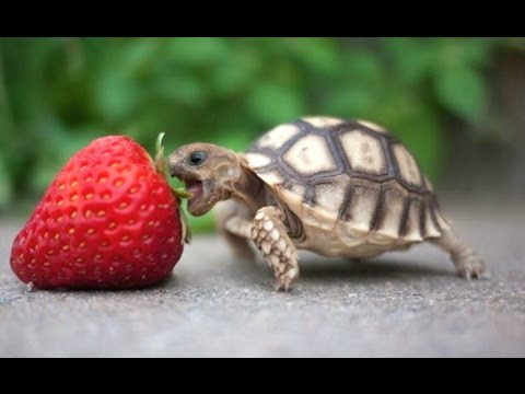 Xxx Mp4 Turtle Tortoise A Funny Turtle And Cute Turtle Videos Compilation NEW HD 3gp Sex