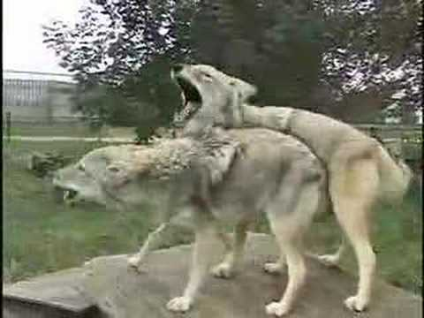 Willow & Twister Howl at Wolf Park