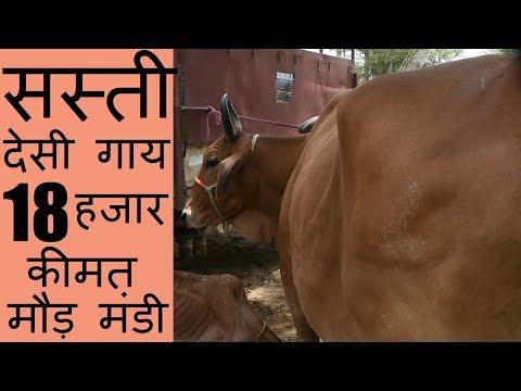 Xxx Mp4 मात्र 18 हजार की देसी गाय मौड़ मंडी पंजाब Cheapest Cow Available In The Country 3gp Sex