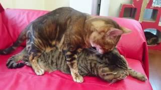 ベンガル猫マオちゃんの私フラれちゃったニャン