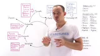Introduction to glucogenic and ketogenic amino acids