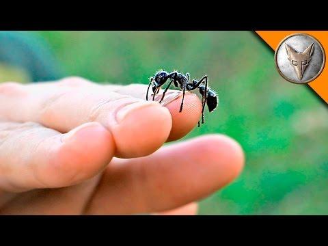 Free Handling Bullet Ants