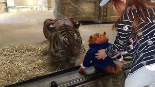 Tiger Wants a Toy || ViralHog