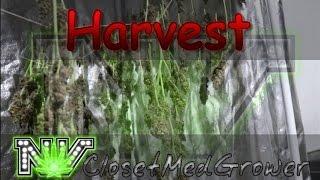 Harvest: Money Berry day 66-68
