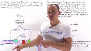Introduction to Amino Acid Metabolism