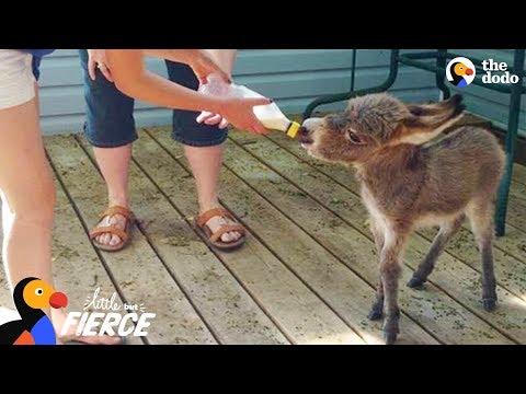 Xxx Mp4 World 39 S Tiniest Donkey Loves Pranking His Mom TINY TIM The Dodo Little But Fierce 3gp Sex