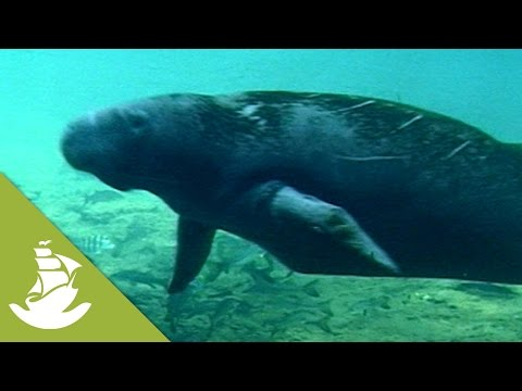 Manatees and their Eating Habits