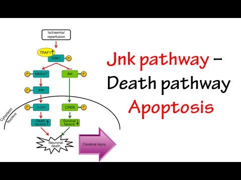 Jnk Pathway