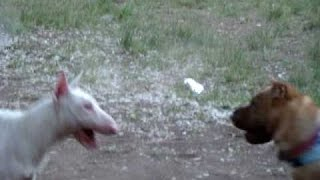DOG FIGHT! SHAR-PEI VS. ENGLISH BULLTERRIER VERY BRUTAL