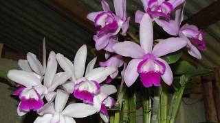 Brazilian Orchids Part 5 Nursery 2