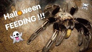 FEEDING my BIG TARANTULAS !!! * 🎃Halloween CRINGE Special 🎃*