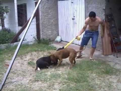Pit bulls RED NOUSE E AMERICAN STAFFORDSHIRE