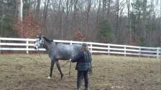 Teaching a Thorougbred horse to lunge for first time.