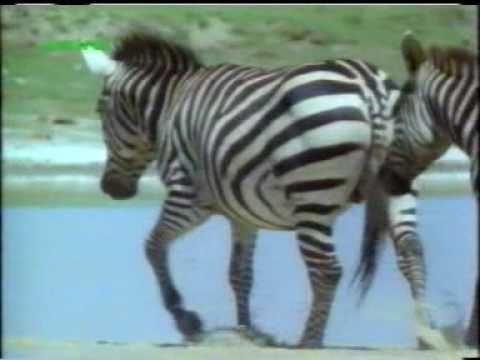 Zebra Mating